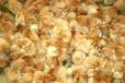 玉林今日鸡苗价土鸡苗批发市场