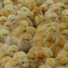 雞苗多少錢一只圖片