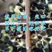 新疆阿拉尔草鸡苗-天津鸡苗