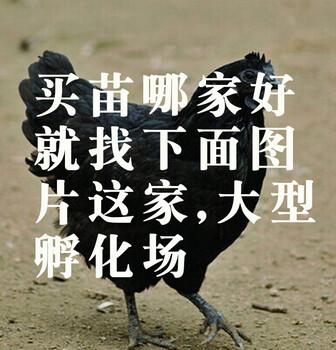 重庆杨家杂交鹅苗-广西玉林养殖批发市场
