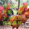 贵州那里有土鸡苗出售-湖北鸡苗价格行情