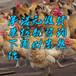 新疆阿拉尔细脚土鸡苗-鸭子苗批发多少一只