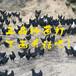 新疆阿拉尔快大黄鸡苗-广西本地鸡苗种
