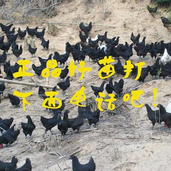 湖北宜昌快大型乌鸡苗-大种鹅苗价格
