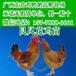 重庆江北黑瑶鸡苗多少钱一只-洛阳新区哪里能买到真正的土鸡
