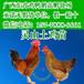 海南三亚杂交鸭苗最新价格-高邮巿伟伟鹅苗孵化场