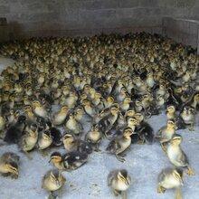 陕西鸡苗批发市场厂家-池州林肉鸡苗多少钱一只-鹅苗舍的简单建设图片图片