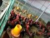 歡迎光臨(遷安鴨苗多少錢一只)遼寧養殖雞回收——公司歡迎您