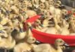 錫林郭勒盟綠殼蛋雞圖片