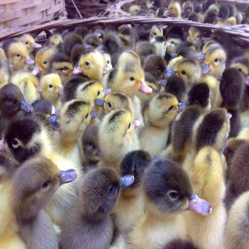 养殖)甘孜德格哪里有鹅苗+多少钱一只-哪里卖芦花鸡苗