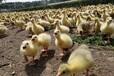 養殖)安徽鴨苗批發-新疆阿勒泰哪里有鵝苗+市場位置