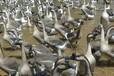 养殖)大品种鹅苗-海南哪里有鹅苗+价格多少钱一只
