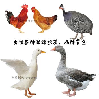 養殖)甘肅雞苗+脫溫-原陽縣鵝苗孵化場歡迎您