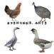 养殖)莆田城厢土鸡苗+孵化场-苗鸡价格预测欢迎您