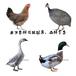 养殖)宁德福安土鸡苗+一只价格-淮南鹅苗孵化场电话欢迎您