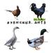 养殖)莆田仙游鸡苗+供应-四川鹅苗业有限公司欢迎您