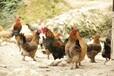 养殖技术拉萨鸡苗价钱行情扶贫帮扶鸡苗龙头企业