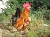 寶雞土雞苗孵化地址、安吉雞苗市場信息推薦