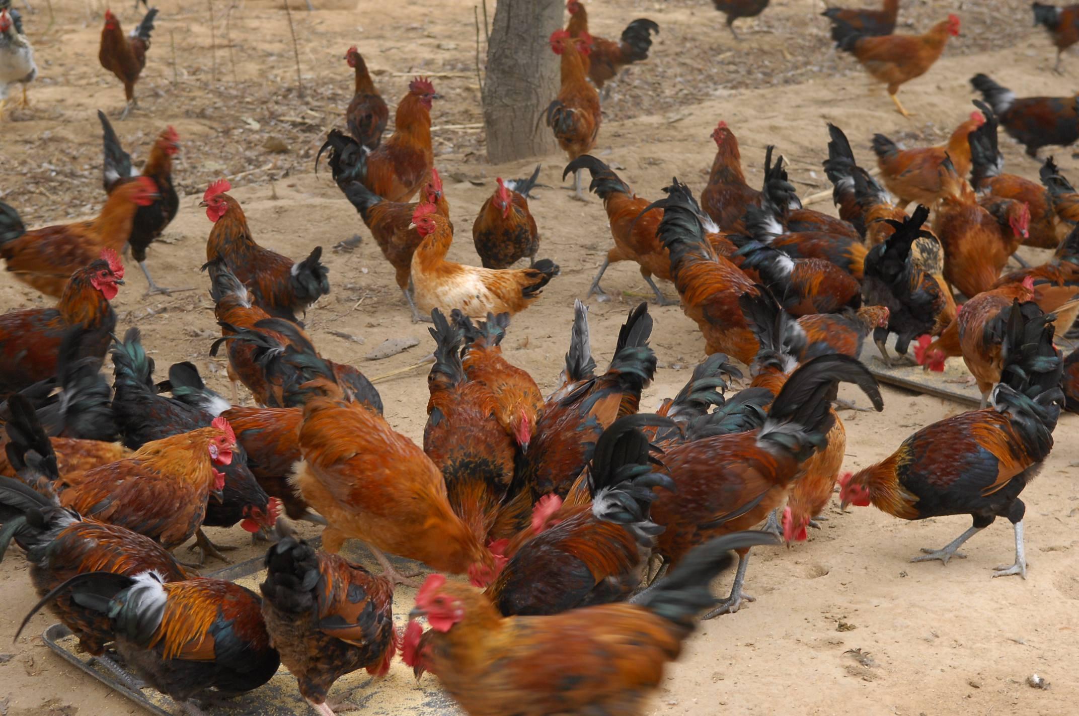 伊犁哈薩克雞苗價格、雞苗取暖燈_鑄造輝煌