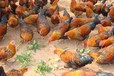 通辽鸡苗养殖技术、清流可有鸡苗出售批发厂家_卓越服务