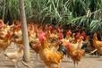 醴陵土雞苗價錢分析、寧夏白羽雞苗價格行情口碑推薦