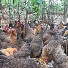 海北鸡苗附近批发市场、保定易县鸡苗繁殖厂客户至上图片