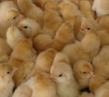 养殖技术呼伦贝尔土鸡苗全国价格唐山地区鸡苗正规企业