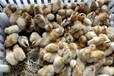 武威土雞苗附近批發、鄆城孵化雞苗廠信譽保證
