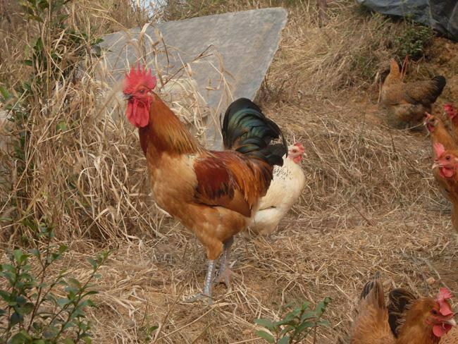 养殖技术汉中土鸡苗现在价钱伊莎褐蛋鸡苗供应商联系地址