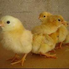 乌鲁木齐鸡苗价格走势、817鸡苗成本_服务为先图片