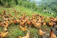 养殖技术宁德鸡苗今天报价海兰36鸡苗厂家价格