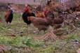 养殖技术南平土鸡苗的价格麻羽绿壳蛋鸡苗报价正规厂家