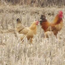 双河鸡苗免费提供、求购二到三斤重鸡苗铸造辉煌图片