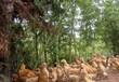 養殖技術(漢中土雞苗孵化方法-高陵雞苗價格+聯系地址