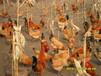 麗水雞苗附近價格、優質白羽雞苗標準口碑推薦