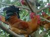 新疆伊犁哈薩克雞雛孵化場(為民辦好事發放雞苗