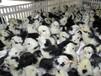 养殖技术南平土鸡苗批发市场几月出鸡苗批发卖家