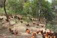 养殖技术(宁德土鸡苗现在价格-广西艾维茵鸡苗批发地+孵化厂家