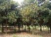 江西廣玉蘭綠化樹價格、金華千喜苗木實惠價格供應15cm廣玉蘭