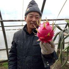 红心火龙果种苗、成苗供应,免费提供技术指导!图片