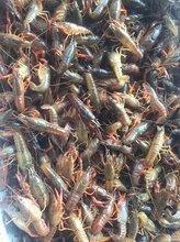 龙虾养殖基地厂家直销图片