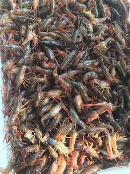 欢迎咨询新疆龙虾苗咨询电话