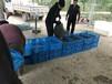 內蒙古小龍蝦種苗養殖基地-推薦山東小龍蝦基地供應龍蝦苗