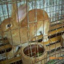 六盘水市-獭兔养殖厂家图片