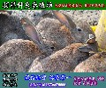 四川野兔养殖野兔养殖技术