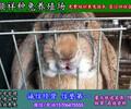三沙养杂交野兔专业养殖场