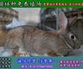 成都种兔养殖野兔