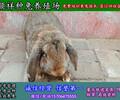 成都农村致富项目肉兔养殖