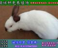 四川兔子价格肉兔养殖