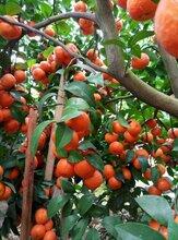 金秋砂糖桔果苗价格-金秋砂糖桔苗木-早熟金秋沙糖桔果苗图片